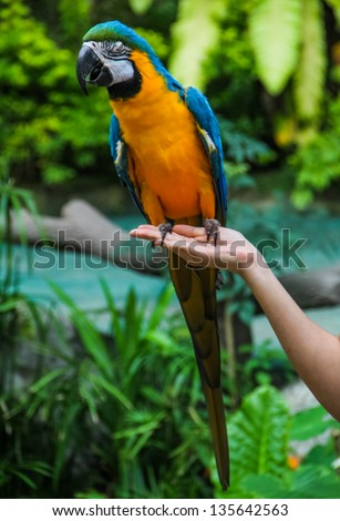 Yellow blue macaw standing on human hand