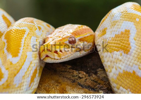 yellow boa snake - stock photo