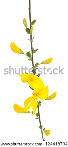 yellow broom (Cytisus scoparius) on white background - stock photo