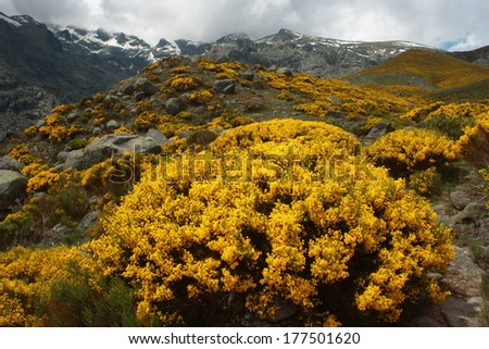 yellow broom in full bloom in Sierra de Gredos, Spain - stock photo
