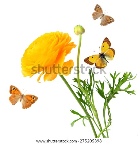Yellow buttercup flower (Ranuculus asiaticus) and colorfull butterflies isolated on a white background. Selective focus - stock photo
