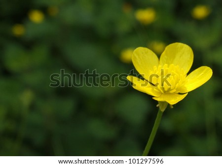 Yellow Buttercup Flower with Copy-Space and Shallow DOF