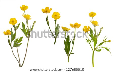yellow buttercup flowers collection isolated on white background - stock photo