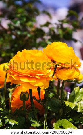 Yellow buttercup flowers in the garden. Sunny day. - stock photo