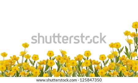 yellow buttercup flowers isolated on white background - stock photo