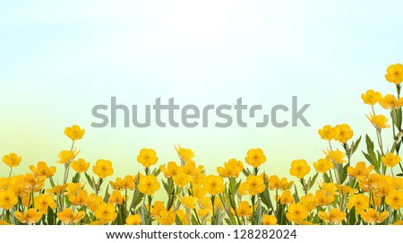 yellow buttercup flowers on light background - stock photo