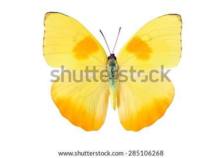 Yellow butterfly from Tingo Maria in Peru, Phoebis Philea Philea in Latin, orange-barred sulphur in English - stock photo