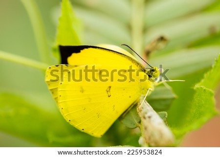 Yellow butterfly in winter - stock photo