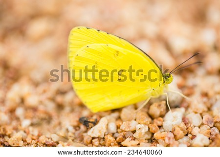 Yellow butterfly on brown sand - stock photo