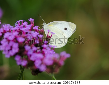Yellow butterfly on flowering Verbena bonariensis (Purpletop Vervain, Tall Verbena, Clustertop Vervain) with blurred  background. - stock photo