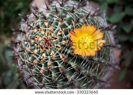Yellow cactus flower - stock photo