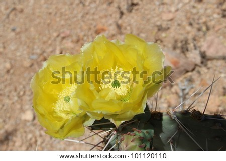 Yellow Cactus Flowers in Arizona Desert - stock photo