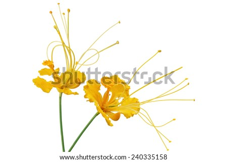 Yellow caesalpinia pulcherrima flower isolated on white background - stock photo