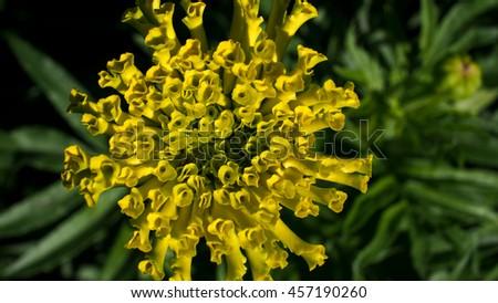 Yellow Calendula Blooms - stock photo