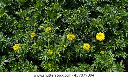 Yellow Calendula Blooms in The Field - stock photo