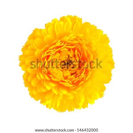 yellow  calendula flower isolated on white background  - stock photo