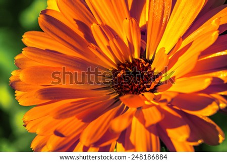 yellow calendula flower on a green background close up - stock photo
