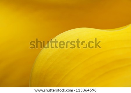 Yellow calla lily flower - abstract background . - stock photo