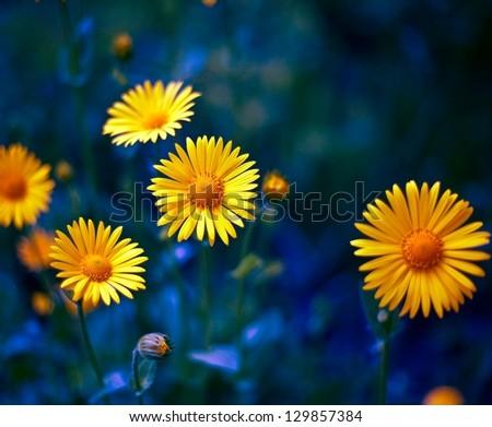 yellow camomile - stock photo
