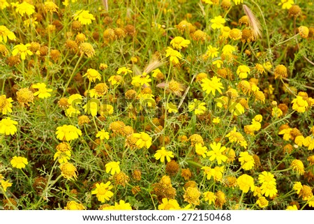 Yellow camomile at end of field of wheat - stock photo