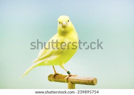 Yellow canary (Serinus canaria). - stock photo