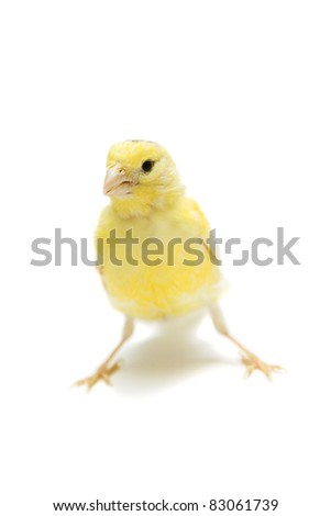 Yellow canary - Serinus canaria on its perch on the white background - stock photo
