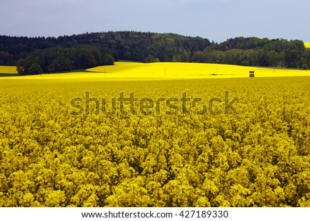 yellow canola blooming field in spring agriculture