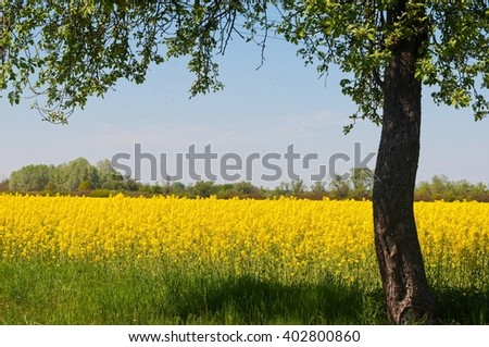 Yellow canola (Brassica napus L.) field with blue sky and framed with tree from right side - stock photo