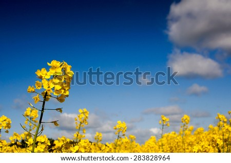 Yellow Canola field, Rape field. Blue cloudy sky, agriculture background. Spring nature landscape. - stock photo