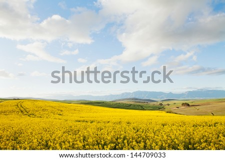 Yellow canola fields overlooking a valley and mountain range