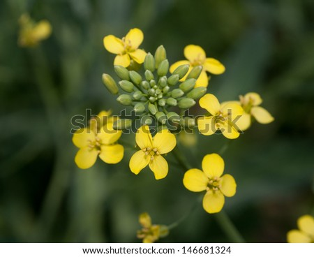 Yellow canola flowers in farm field - stock photo