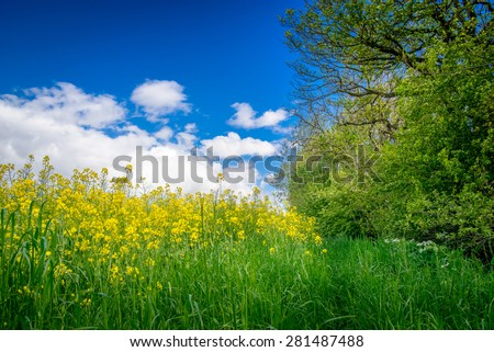 Yellow canola flowers on a green meadow - stock photo