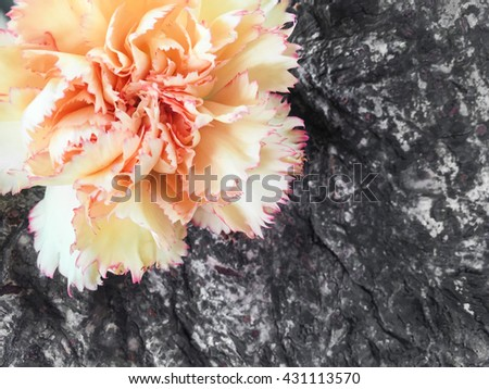 yellow carnation,carnation flower on wood background