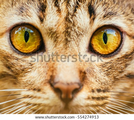 Yellow Cats eyes: Close up of a tabby cats eyes,Closeup of Hypnotic Cat Eyes