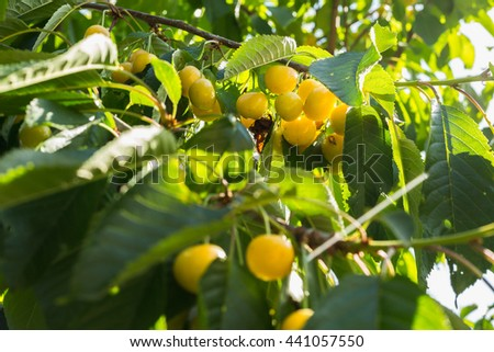 Yellow cherries on a branch.ripe cherries on a tree branch against lush foliage on the background. Selective focus.Cherry on the Tree - stock photo