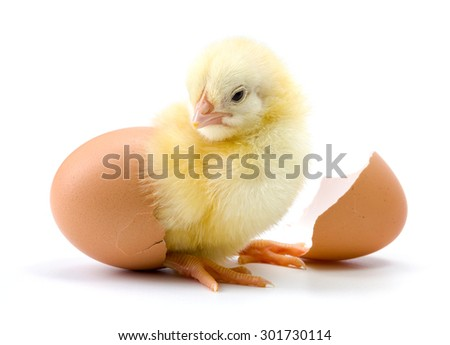 Yellow chicken hatching from egg on white background