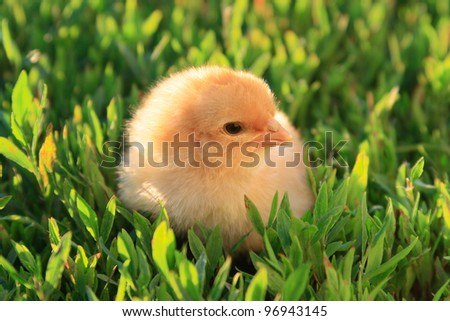 Yellow chicken on a green grass