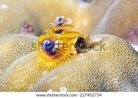 Yellow Christmas Tree Worm live on hard coral - stock photo