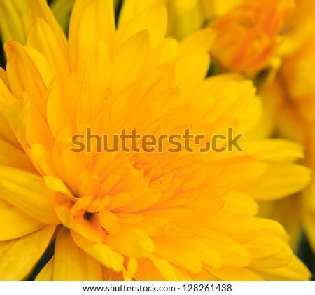 Yellow chrysanthemum flower close up - stock photo