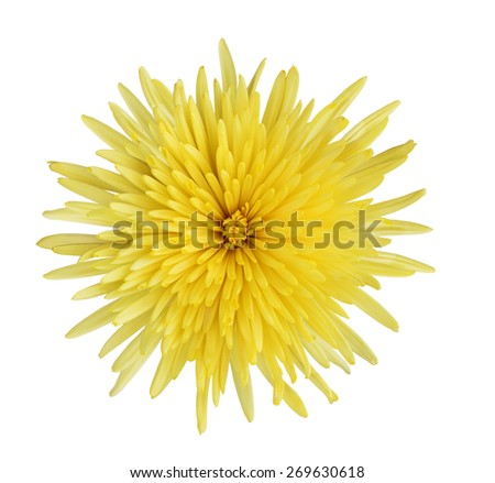 Yellow Chrysanthemum flower head isolated on white background - stock photo