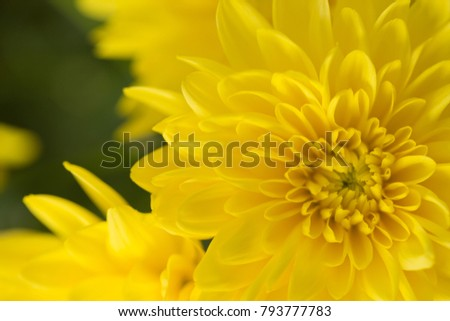 Yellow Chrysanthemum Flower in Garden