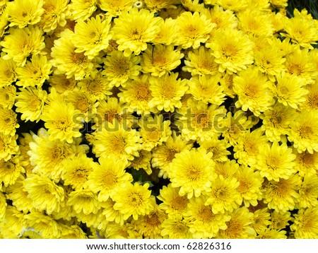 yellow chrysanthemum flowers background - stock photo