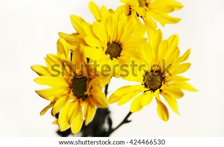 Yellow chrysanthemum flowers on white background. Abstract spring concept