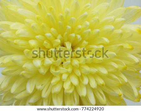 Yellow Chrysanthemum Vase Stock Photo Edit Now 774224920