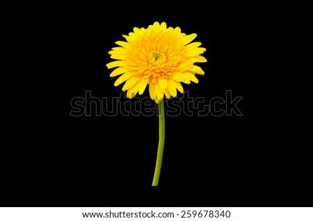 Yellow chrysanthemum isolated on black background. - stock photo
