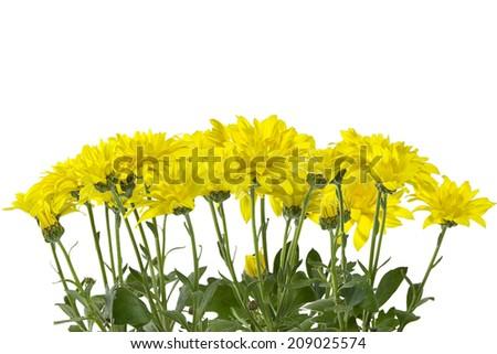 yellow chrysanthemum isolated on white - stock photo