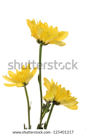 Yellow Chrysanthemum isolated on white background