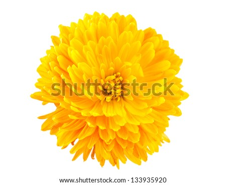 yellow chrysanthemum isolated on white background - stock photo