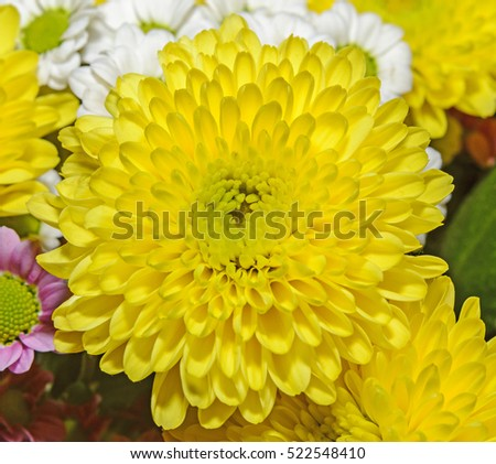 Yellow Chrysanthemum macro, bouquet flowers, floral arrangement with mums or chrysanths, close up.