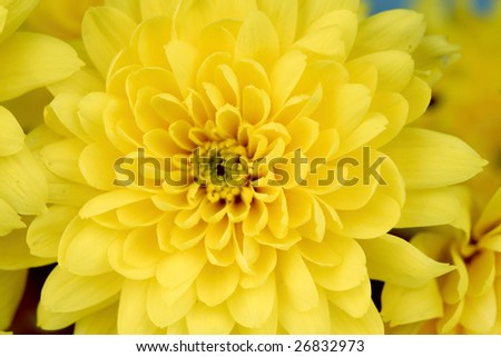 yellow chrysanthemum macro close up